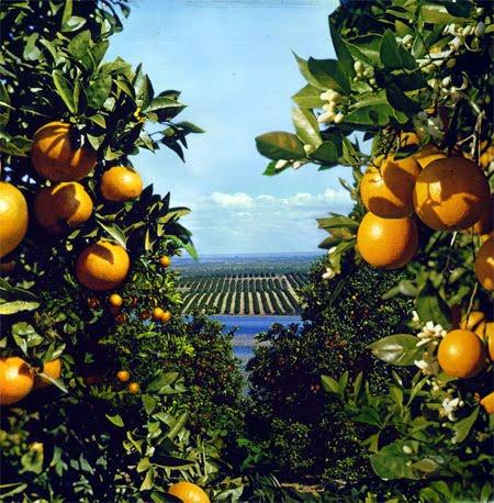 Image Result For Florida Orange Groves Map