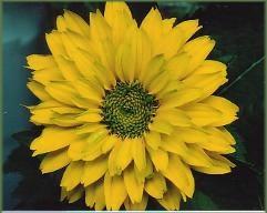 Meine grne Leidenschaft Heliopsis  Sonnenauge