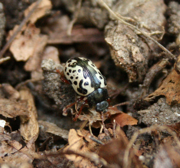 In Any Rush To Protect Himself From Predators But Maybe That S Cause Most Critters Won T Eat A Beetle These Striking And Poisonous Looking Colors