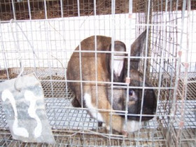 Life As A Polyface Apprentice: Rabbits and Layers Rabbit En Hoop House Plans on rabbit photography, rabbit compost, rabbit tractor plans, rabbit hill house, rabbit cage tractor, rabbit fruit, rabbit hole house, rabbit garden house, rabbit greenhouse,