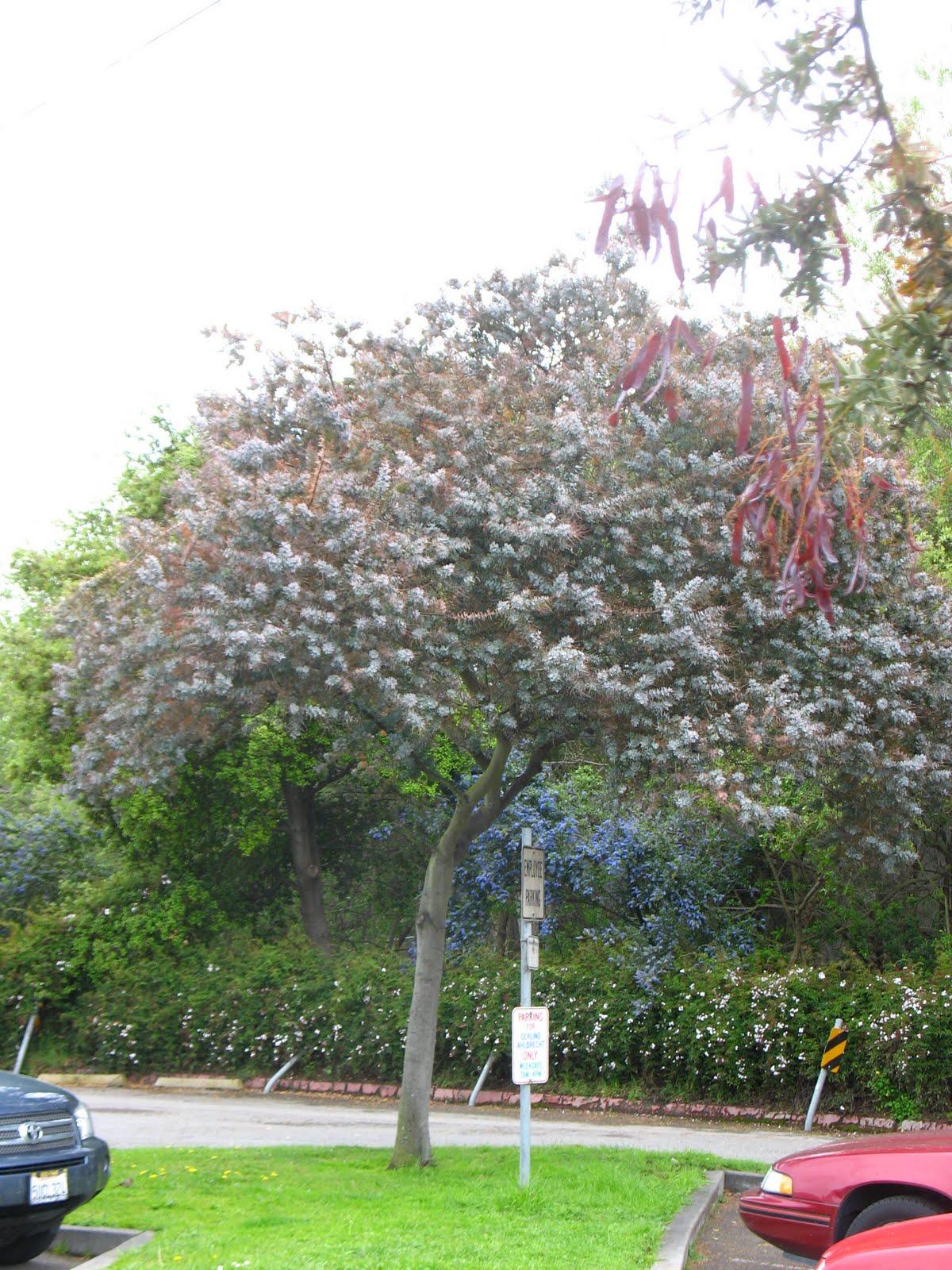 Tree Identification Acacia Baileyana Bailey Acacia