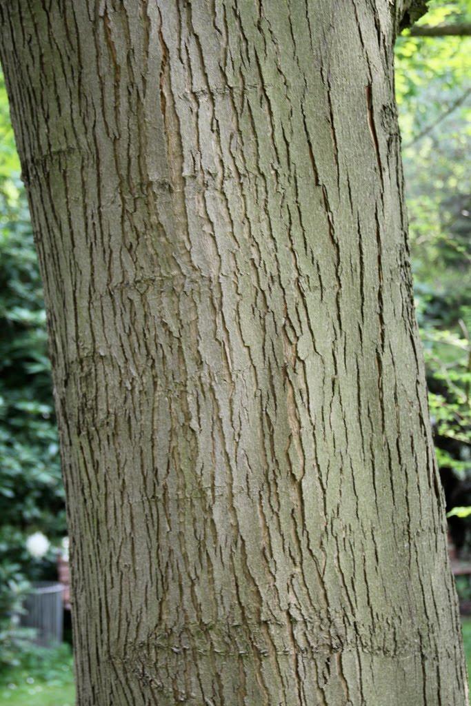 Tree Identification Acer Saccharinum Silver Maple