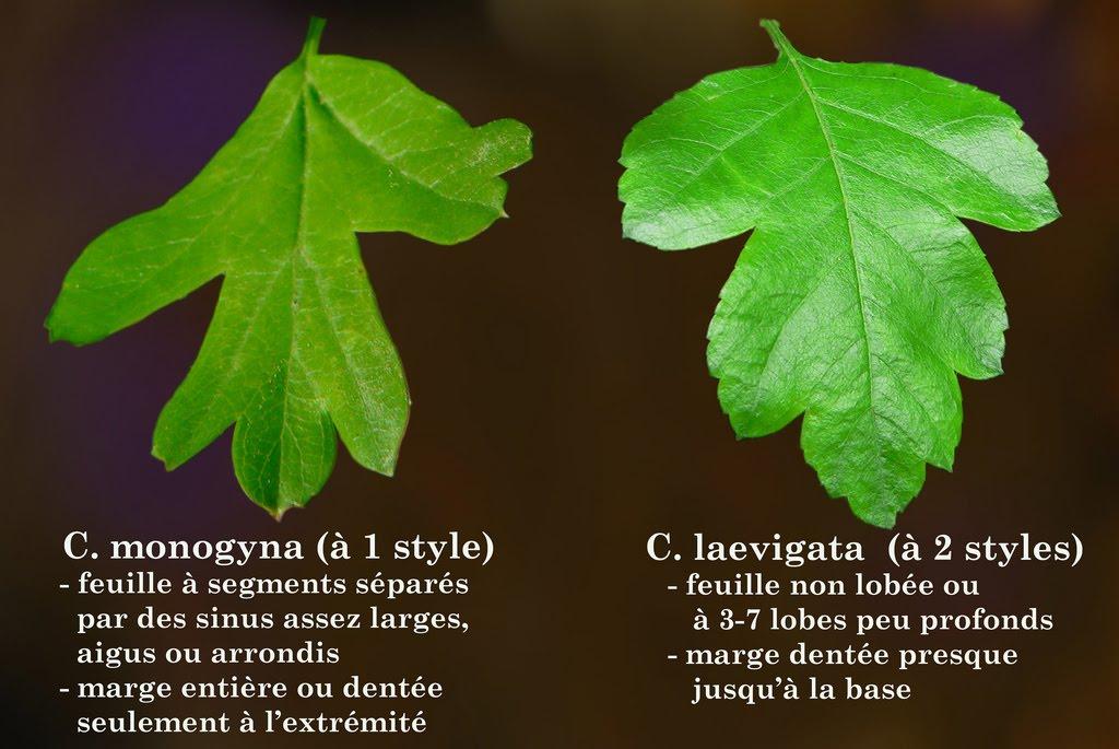 Tree Identification: Crataegus laevigata - English Hawthorn