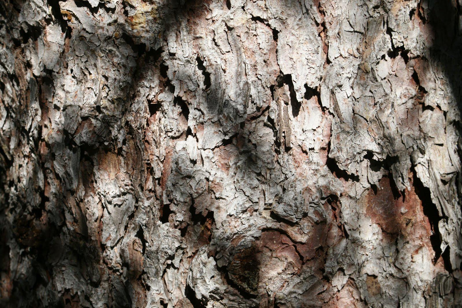 Tree Identification: Picea engelmanii - Englemann's Spruce