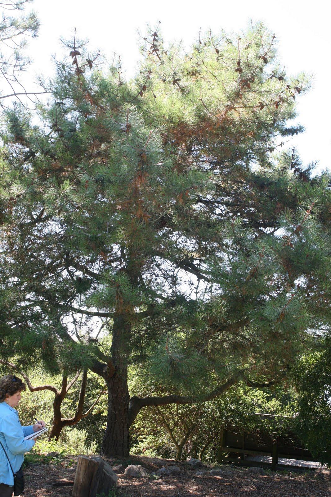 Pine Tree In Barcelona Transperfect: Tree Identification: Pinus Muricata