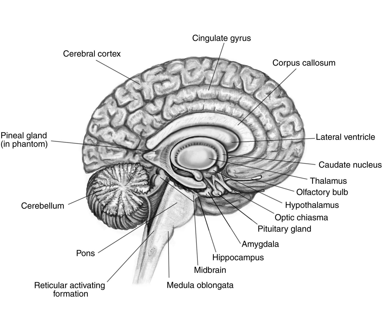brain drawing with labels - photo #13