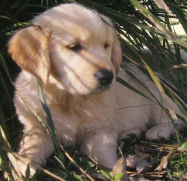 Golden Retriever Puppies For Sale In Ohio