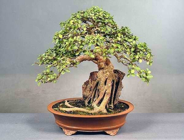 Lennard S Bonsai Beginnings Root Over Rock Ficus