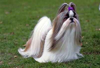 Dog Breed Gallery Shih Tzu Funny Small Dog