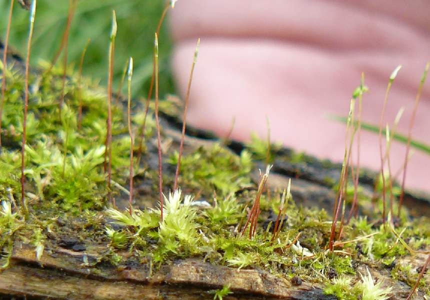 Gambar Gambar Tumbuhan Lumut Ciri Ciri Tumbuhan Lumut Bryophyta Sridianti Dunianya Sari Kingdom Plantae Dunia Tumbuhan Part 1