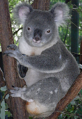 wallpapers of animal male koala clipart wiki