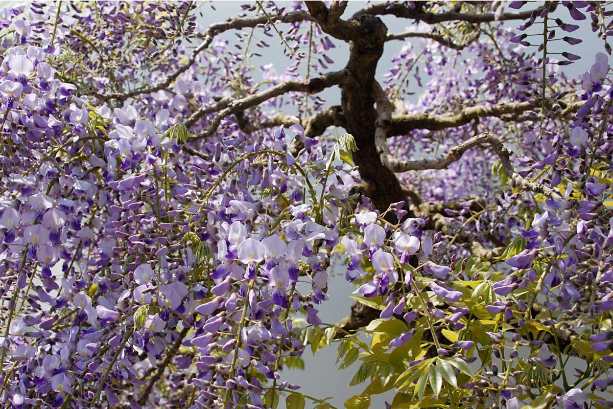 Japanese Wisteria floribunda kuyshaku Bonsai Tree in Bloom 2010