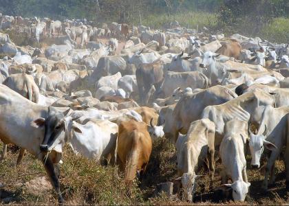 Bovino em Rondônia
