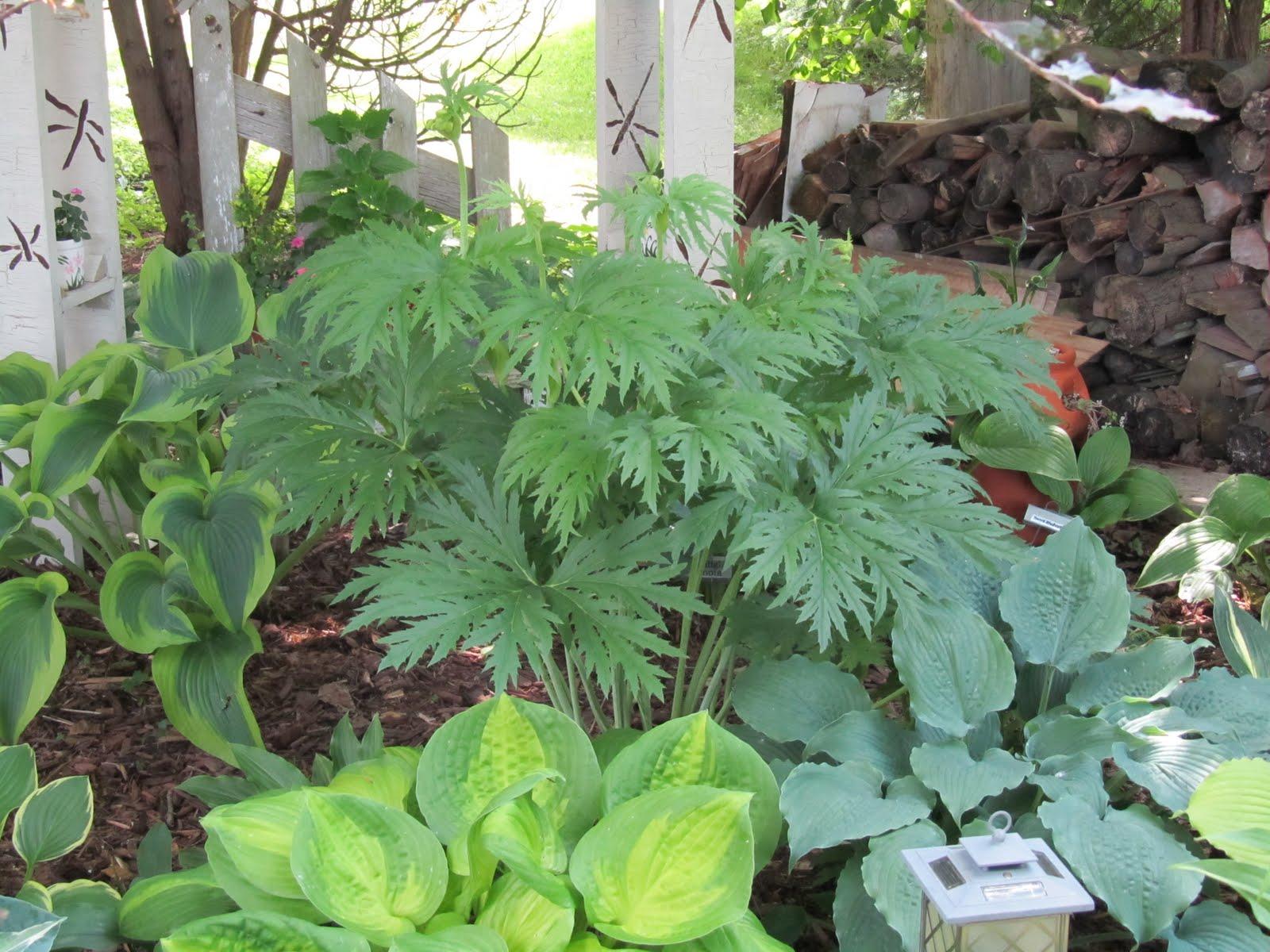 Cheesehead Gardening Shade Plants