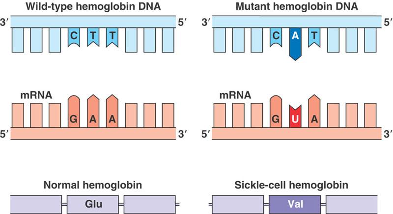 molecular genetic: Point Mutation