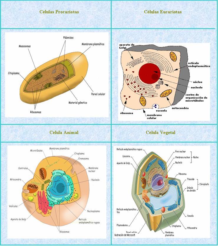 higado metabolismo en la forma natural
