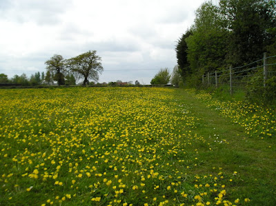 Buttercups cover a meadow on the way down to the river from Oulton Broad South station