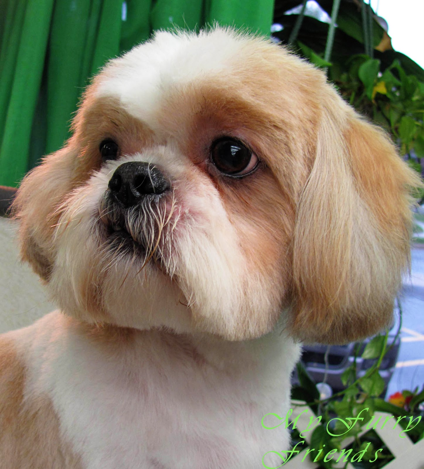 images of shih tzu haircuts pet grooming the good the bad the furry shih tzu day 4303