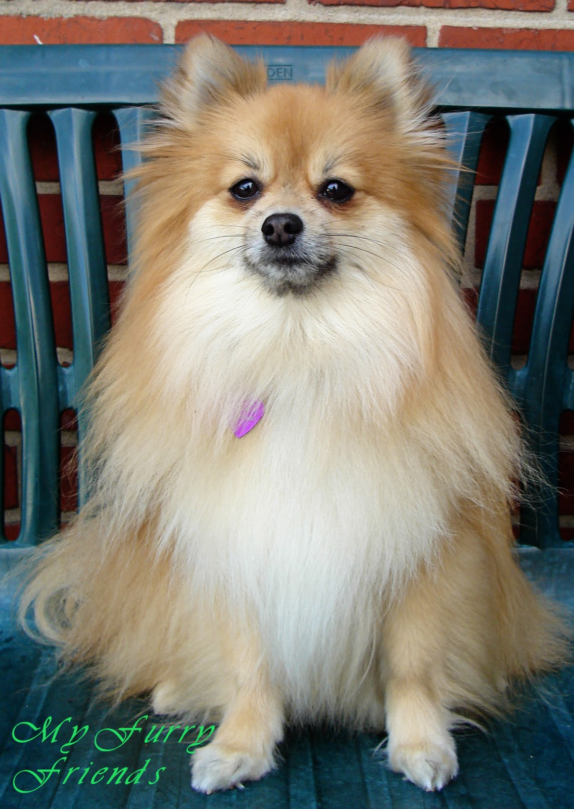 pet grooming: the good, the bad, & the furry: grooming pomeranians