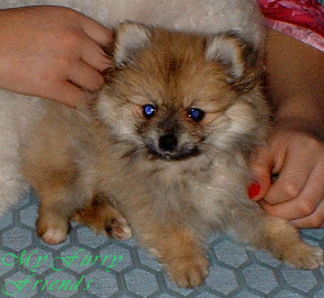Fabulous Pet Grooming The Good The Bad Amp The Furry Grooming Pomeranians Hairstyle Inspiration Daily Dogsangcom
