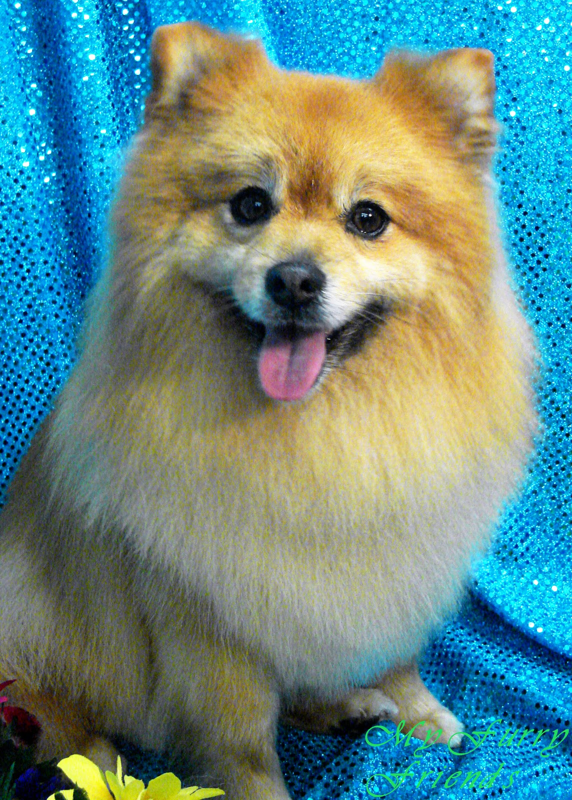 pomeranian trimmed pet grooming the good the bad the furry grooming 2614