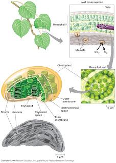 Gbr. 1.3. Struktur kloroplas