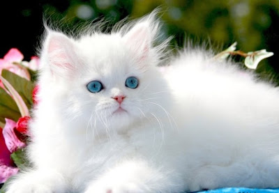 Cute Cats and Little Kittens: Cute White Kittens
