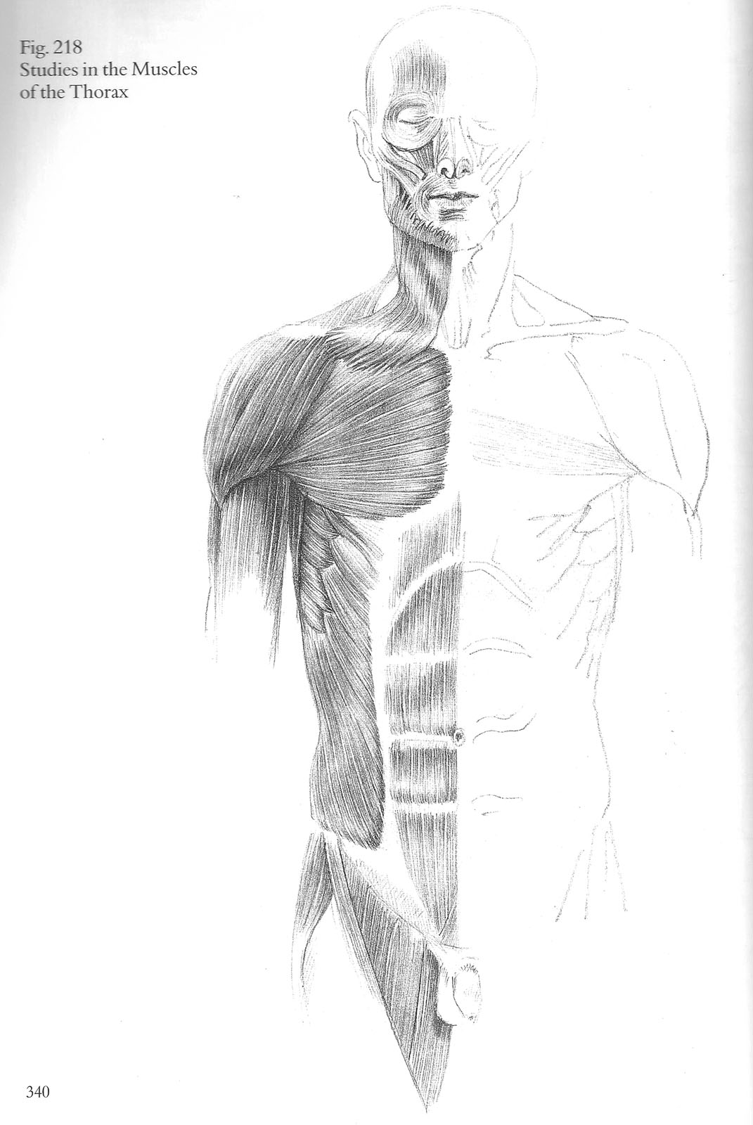 Foundation Drawing Section O: Anatomy- Torso Muscle Study