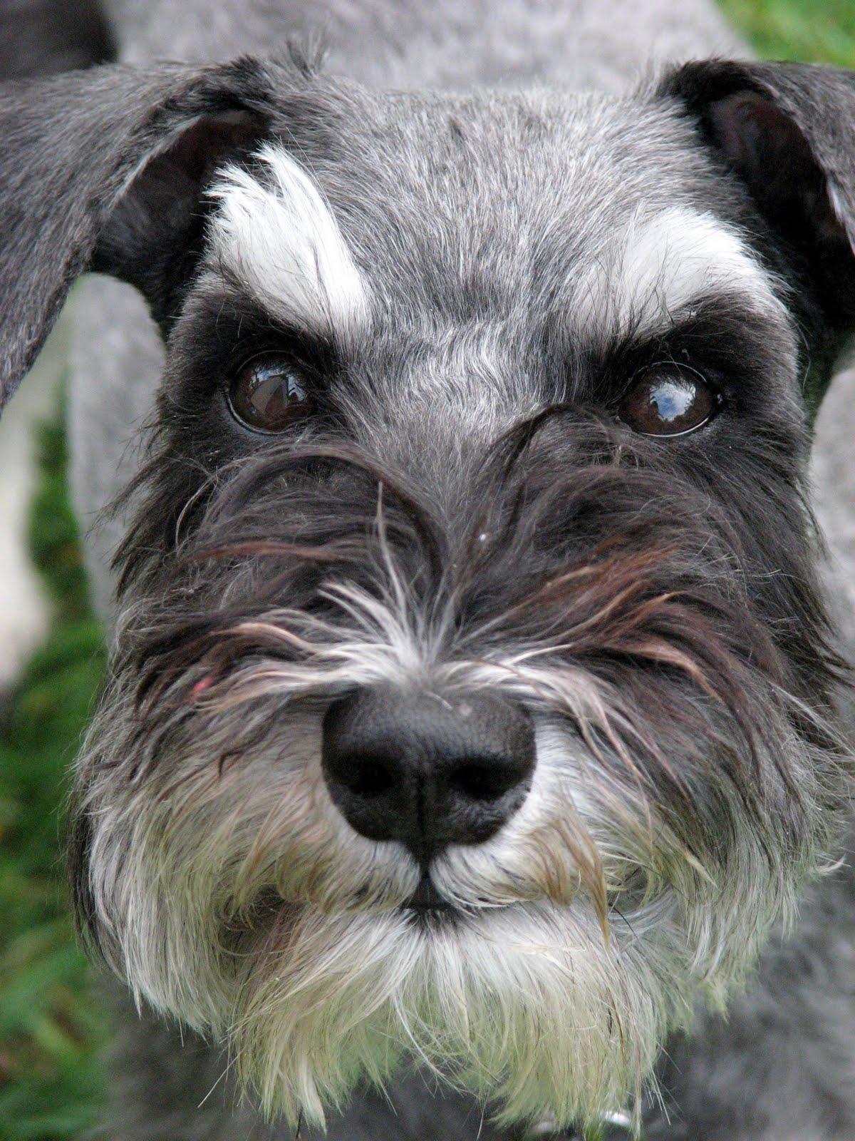 Dream Dogz: Mika's schnauzer cut!