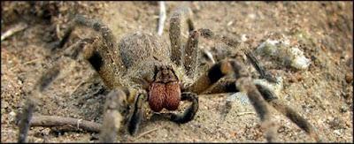 Araña errante brasileña o Armadeira
