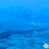 Filman un tiburón toro en aguas de Canarias