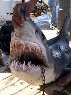 Tiburón asesino