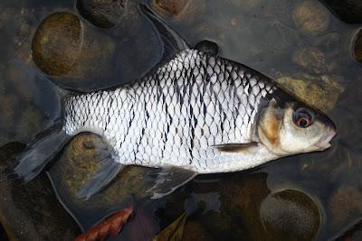 ANGLING WORLD 魔魚釣界: Taman Negara Pahang