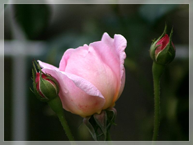 lunas garten rosen vielfalt herbstbl ten. Black Bedroom Furniture Sets. Home Design Ideas