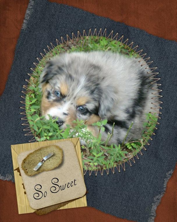 Aussie Puppies For Sale