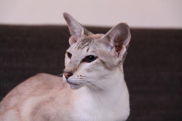 interferon therapie bei katzen