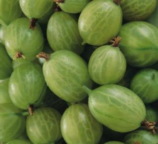 Fruit Alphabetical List: Fruit Alphabetical List - Gooseberry