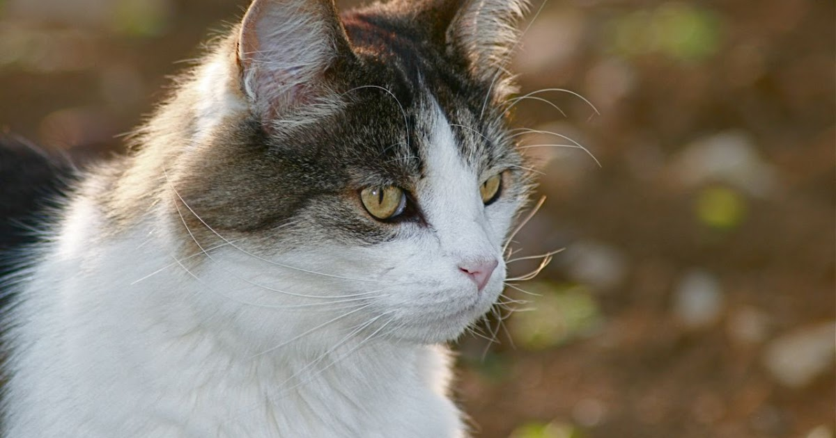 George Online Cat The Most Beautiful Cat In The World Is Dead