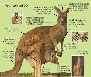 yang li: thesis: kangaroos