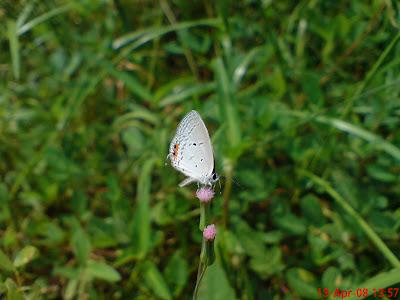 My Mobile Photos: An Indian Cupid on a Monara Kudumbiya Flower