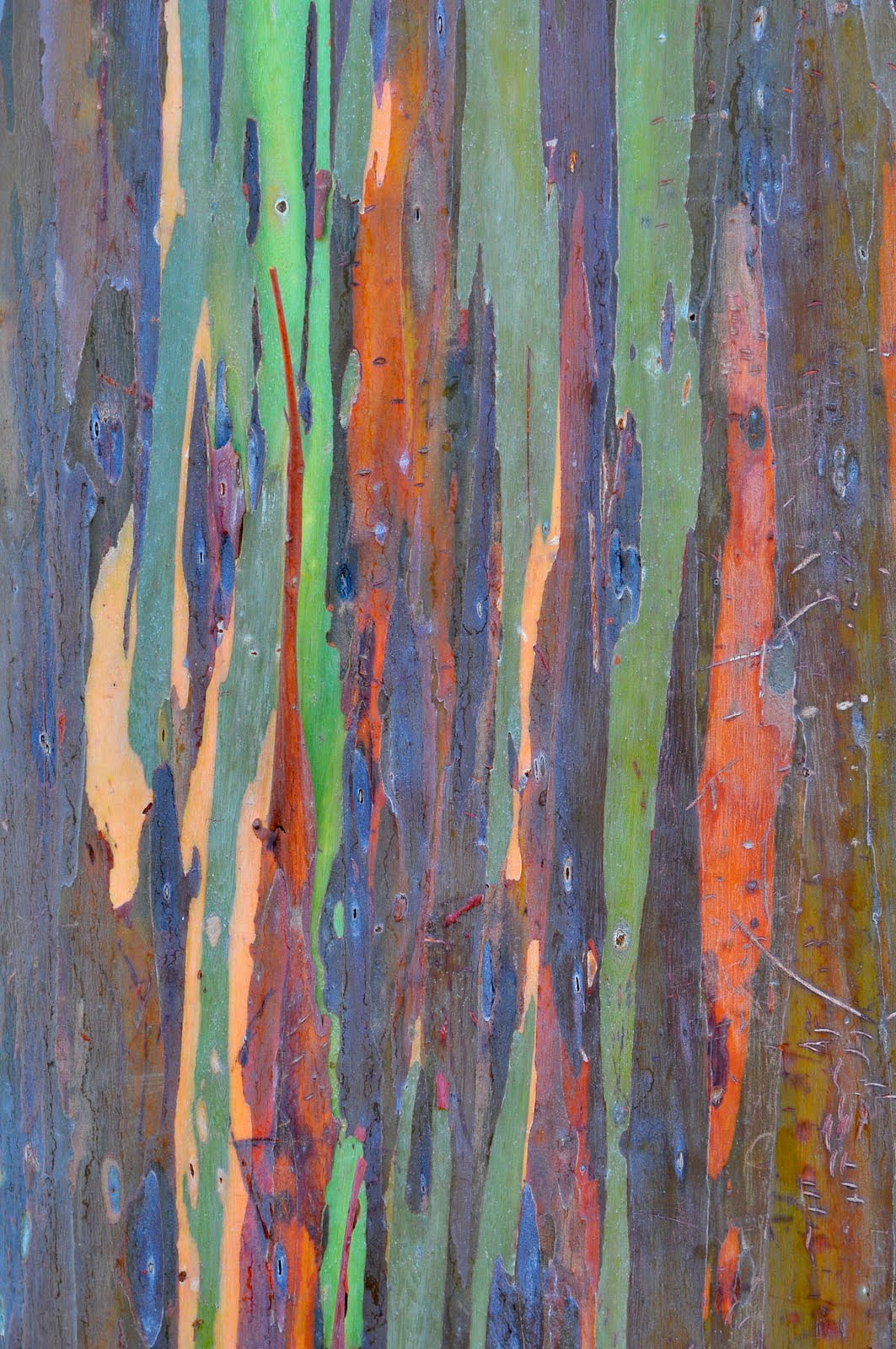 gum tree bark Google Search (With images) Rainbow