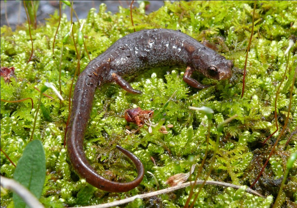 Ohio Birds and Biodiversity Fourtoed Salamander