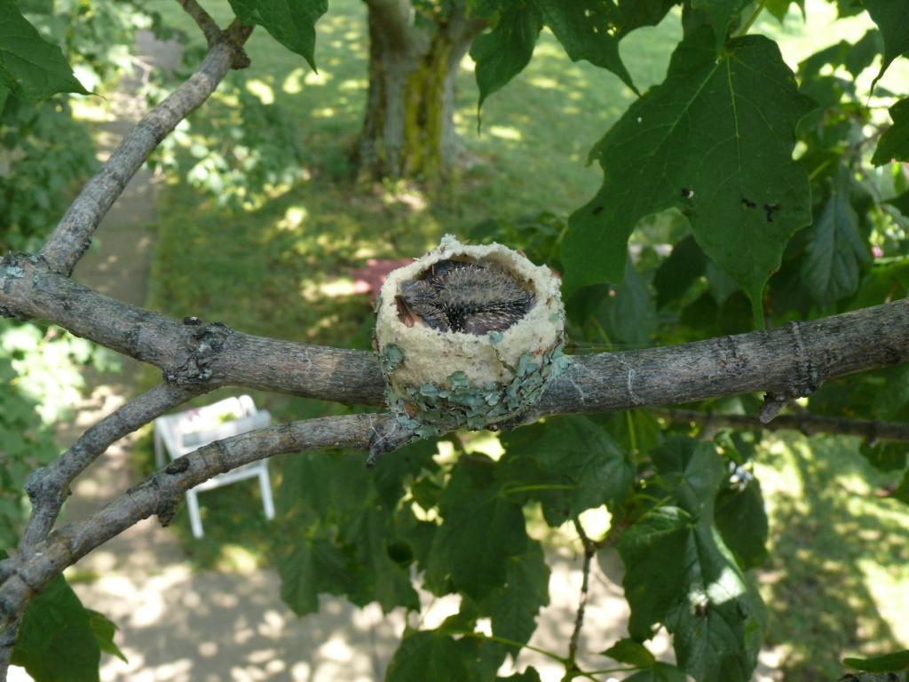 Ohio Birds And Biodiversity Ruby Throated Hummingbird Nest