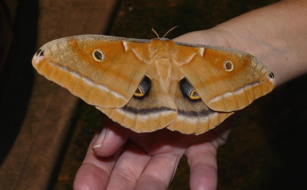 Ohio Birds And Biodiversity Polyphemus Moth