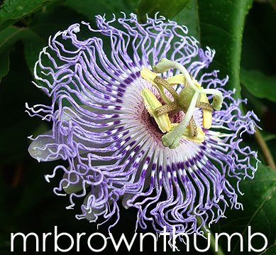 Passiflora incarnata Passion Flower Medicinal Plant Garden Walk Chicago