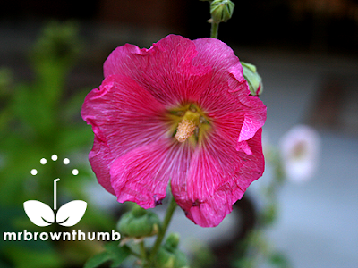 Hollyhock flower, how to collect hollyhock seeds