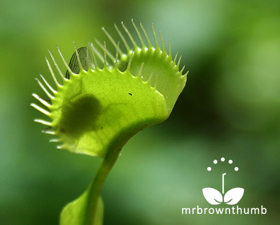 Fly inside Venus Fly trap, Venus Flytrap catches fly
