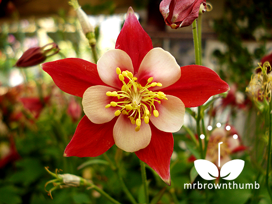 How to collect columbine flower plant seeds