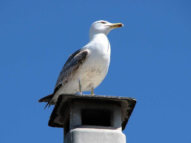 Seagull on a chimney, Livorno