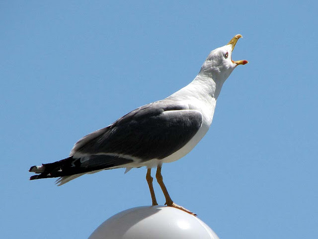Seagull crying on a lamppost, Fosso Reale, Livorno